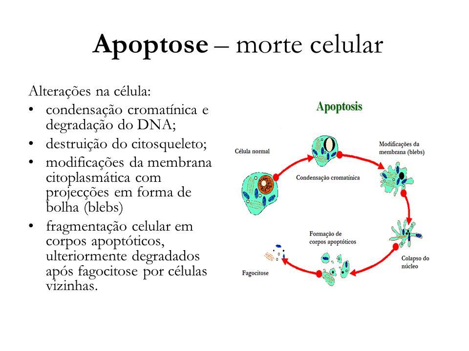 Apoptose – morte celular
