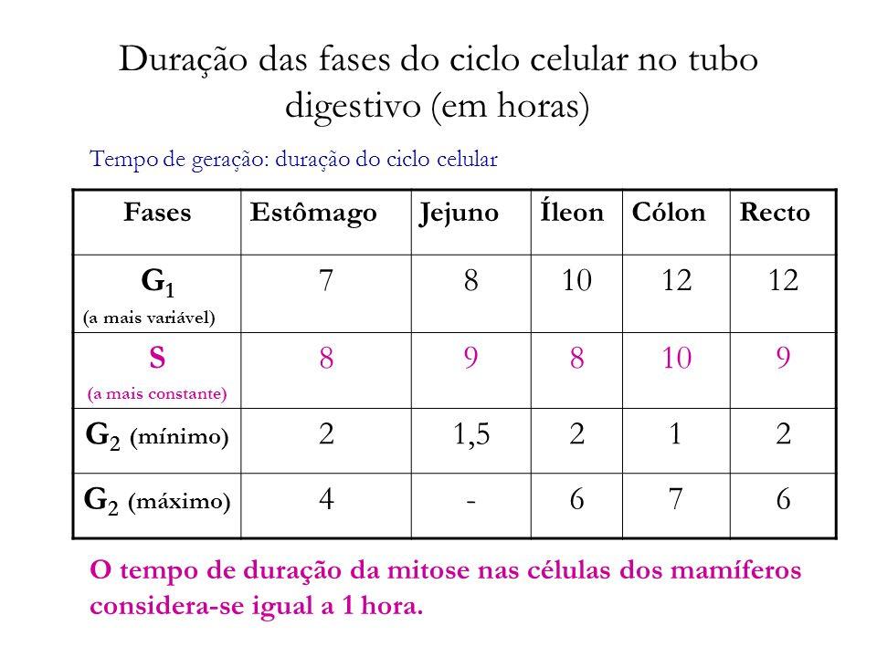 Duração das fases do ciclo celular no tubo digestivo (em horas)