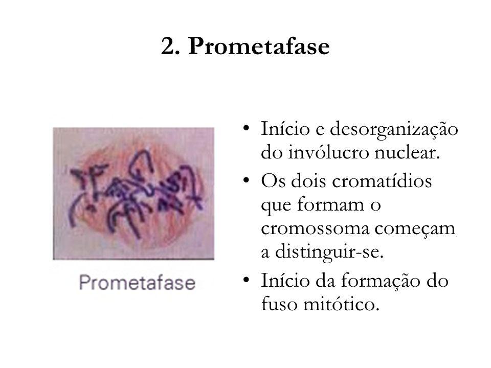 2. Prometafase Início e desorganização do invólucro nuclear.