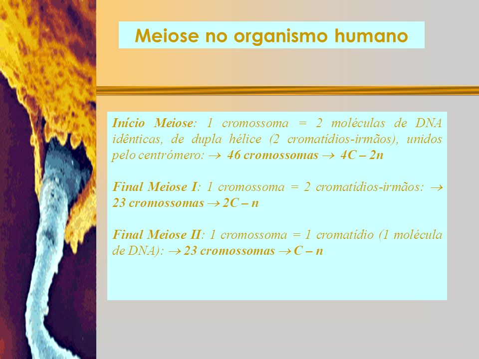 Meiose no organismo humano