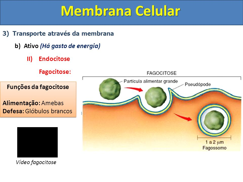 Membrana Celular Ativo (Há gasto de energia) II) Endocitose