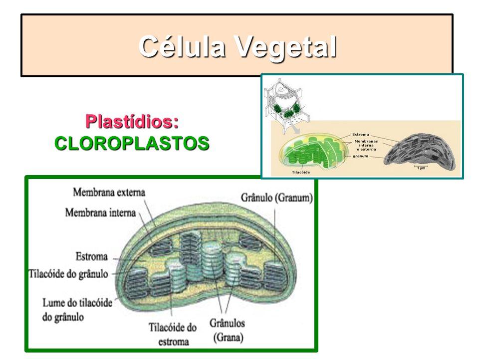 Plastídios: CLOROPLASTOS