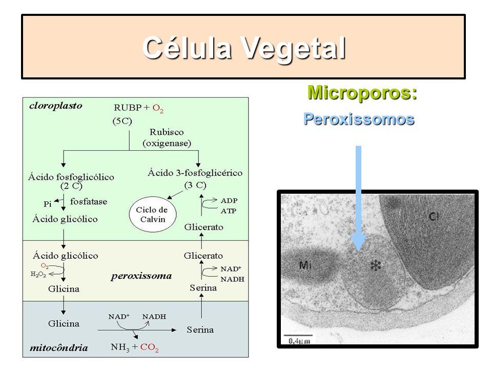 Microporos: Peroxissomos