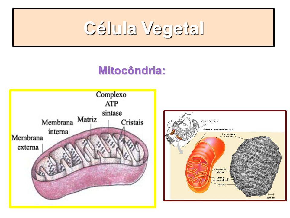 Mitocôndria: Célula Vegetal