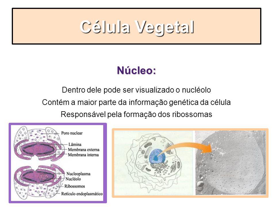 Célula Vegetal Núcleo: Dentro dele pode ser visualizado o nucléolo