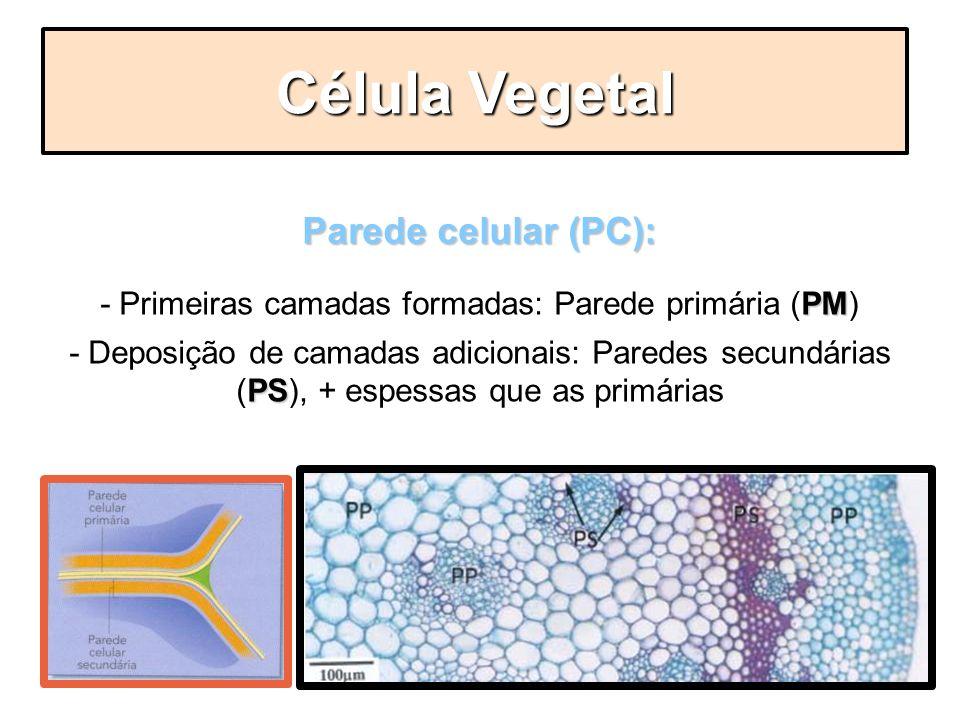 - Primeiras camadas formadas: Parede primária (PM)