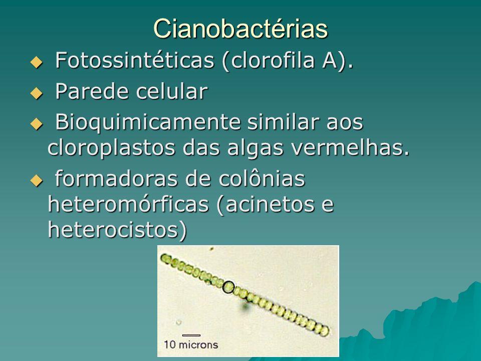 Cianobactérias Fotossintéticas (clorofila A). Parede celular