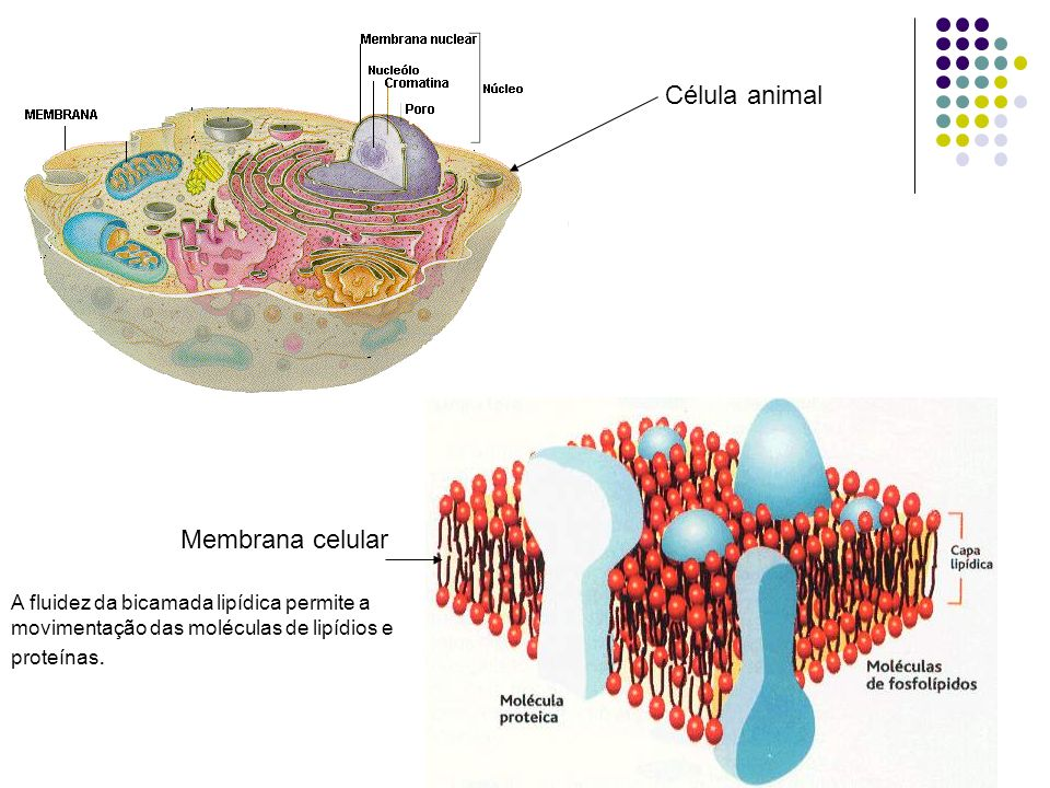 Célula animal Membrana celular