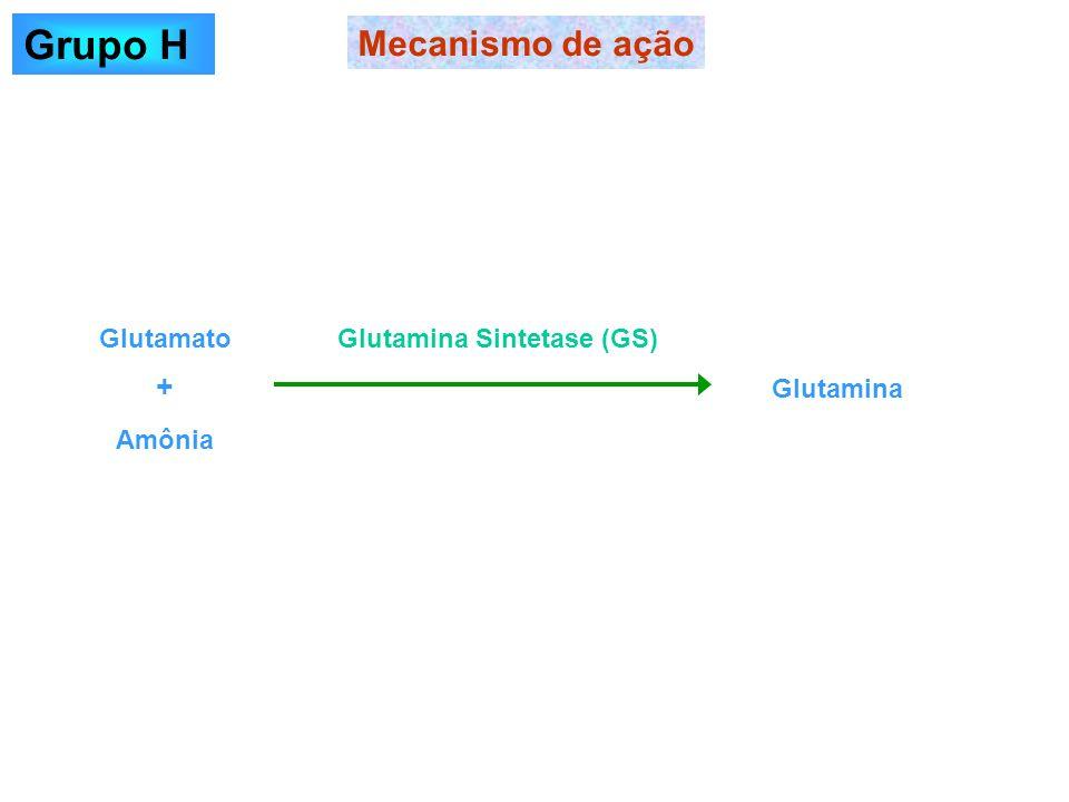 Grupo H Mecanismo de ação + Glutamato Glutamina Sintetase (GS)