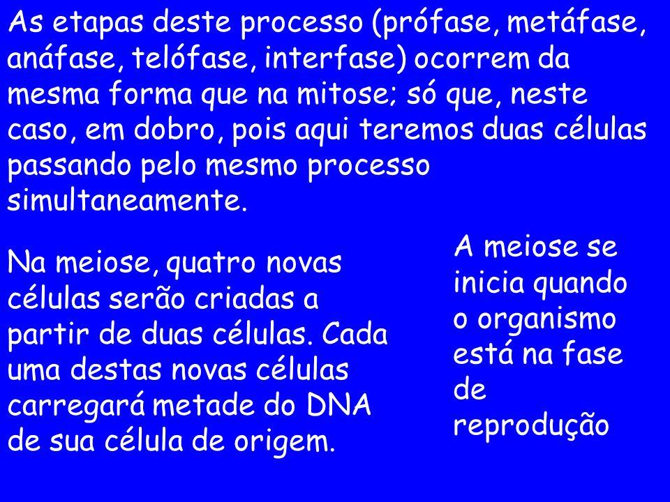 As etapas deste processo (prófase, metáfase, anáfase, telófase, interfase) ocorrem da mesma forma que na mitose; só que, neste caso, em dobro, pois aqui teremos duas células passando pelo mesmo processo simultaneamente.