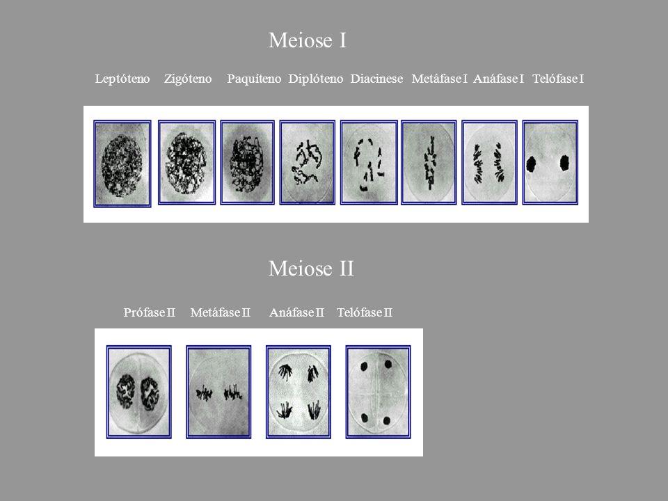 Meiose I Meiose II Prófase II Metáfase II Anáfase II Telófase II