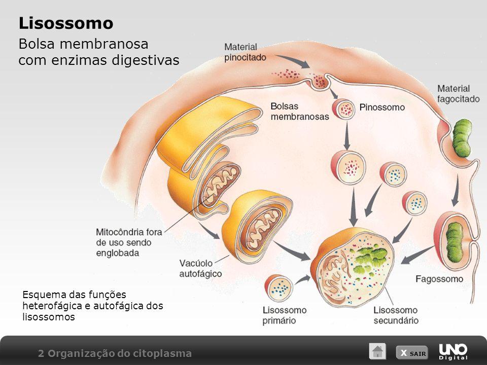 Lisossomo Bolsa membranosa com enzimas digestivas