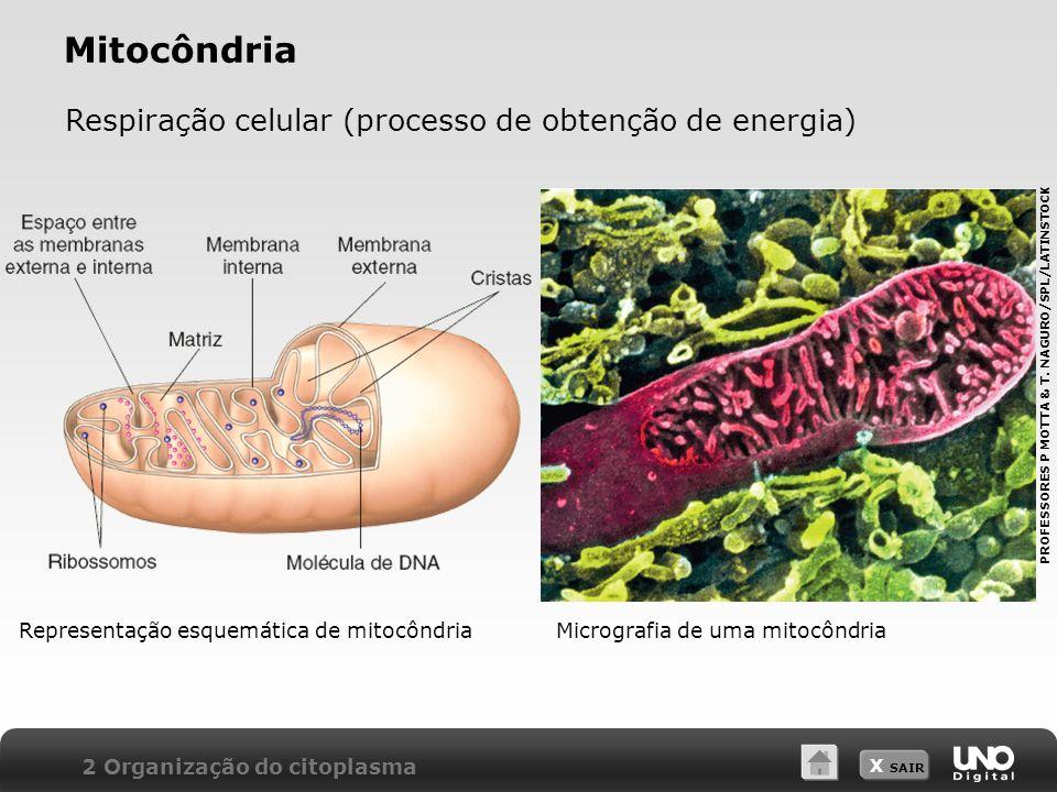 Mitocôndria Respiração celular (processo de obtenção de energia)