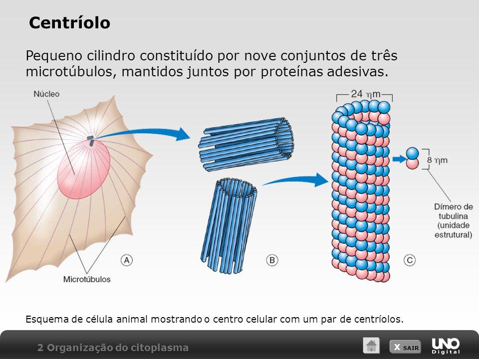 Centríolo Pequeno cilindro constituído por nove conjuntos de três microtúbulos, mantidos juntos por proteínas adesivas.