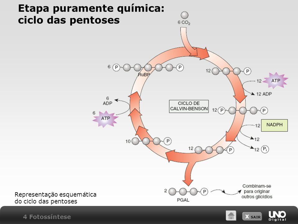Etapa puramente química: ciclo das pentoses