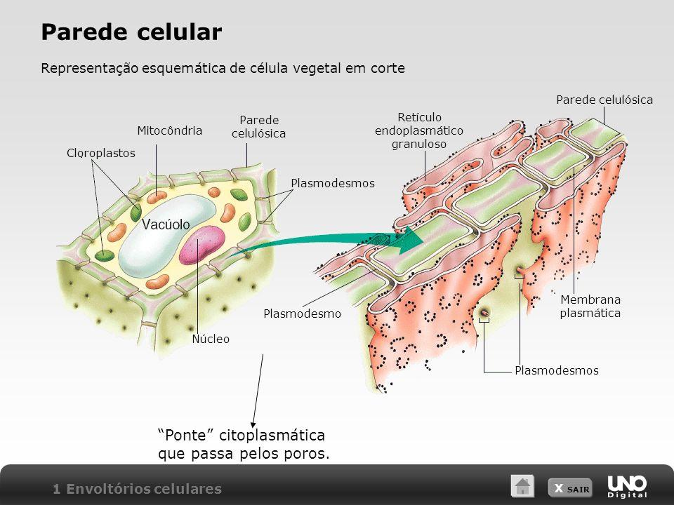 Parede celular Ponte citoplasmática que passa pelos poros.