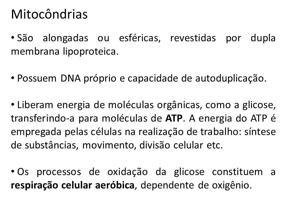 Mitocôndrias São alongadas ou esféricas, revestidas por dupla membrana lipoproteica. Possuem DNA próprio e capacidade de autoduplicação.