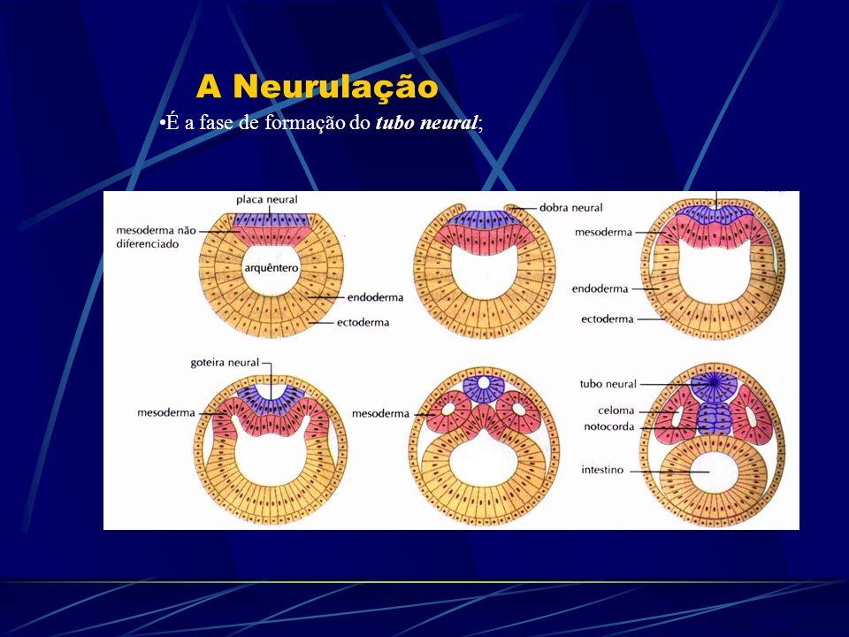 A Neurulação É a fase de formação do tubo neural;
