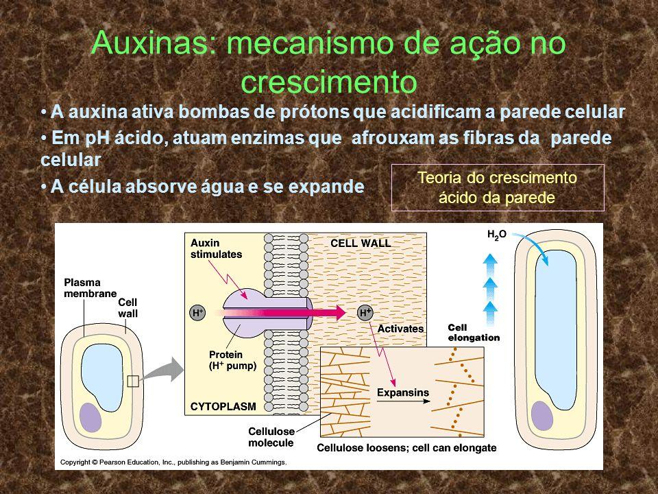 Auxinas: mecanismo de ação no crescimento