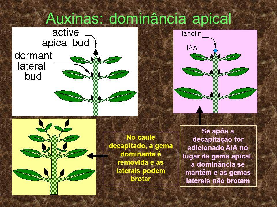 Auxinas: dominância apical