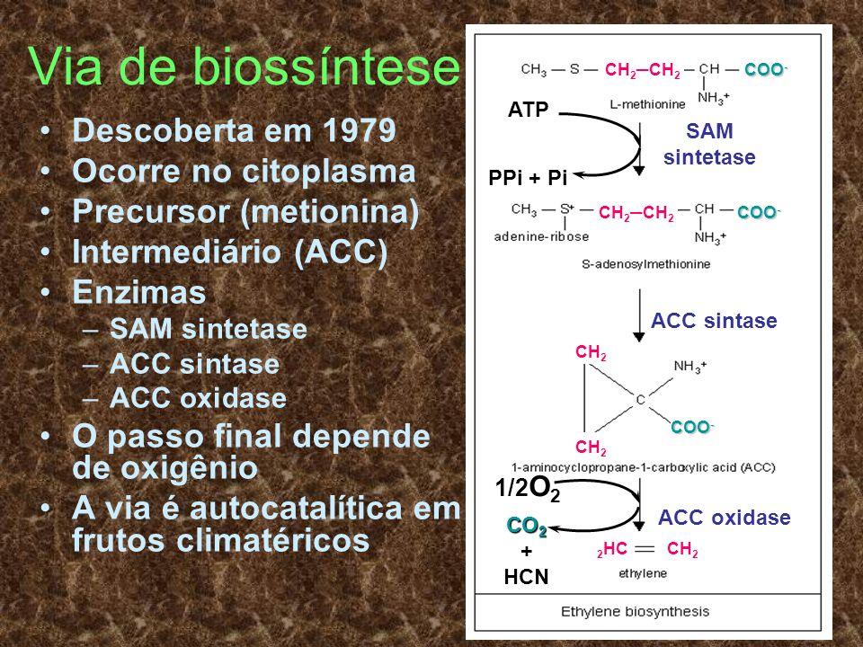 Via de biossíntese Descoberta em 1979 Ocorre no citoplasma