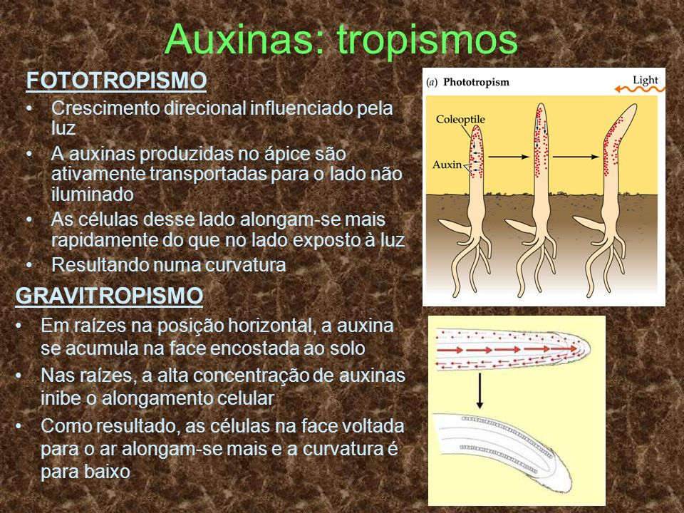 Auxinas: tropismos FOTOTROPISMO GRAVITROPISMO