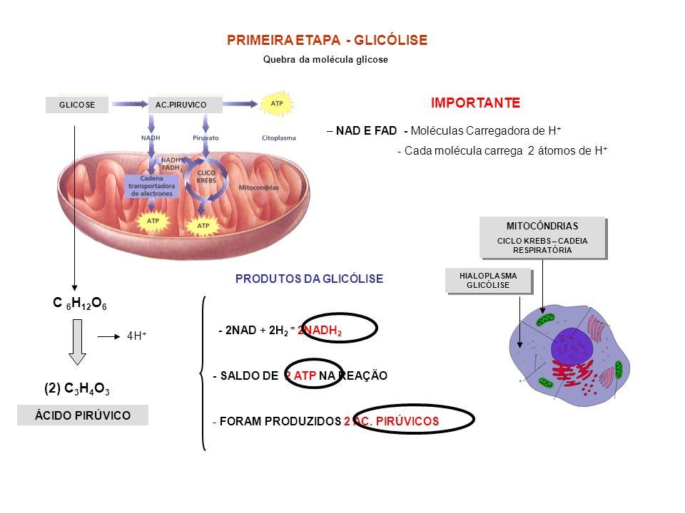 PRIMEIRA ETAPA - GLICÓLISE (2) C3H4O3
