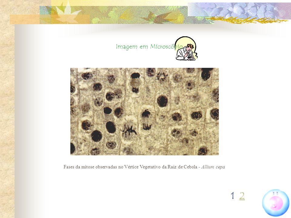Imagem em Microscópio Fases da mitose observadas no Vértice Vegetativo da Raíz de Cebola - Allium cepa.