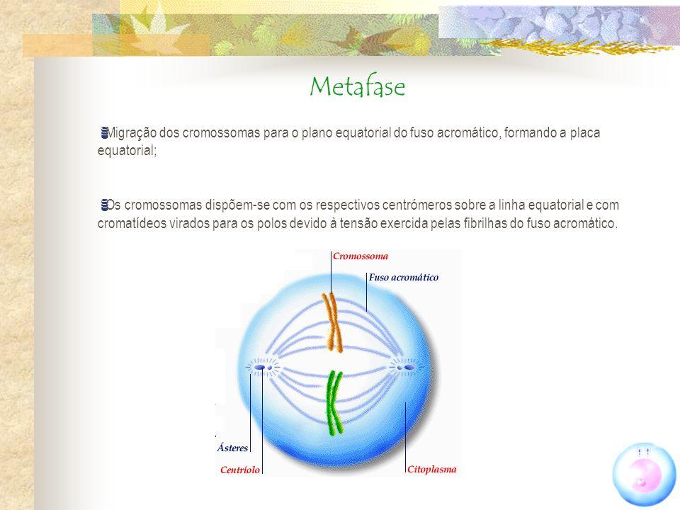 Metafase Migração dos cromossomas para o plano equatorial do fuso acromático, formando a placa equatorial;