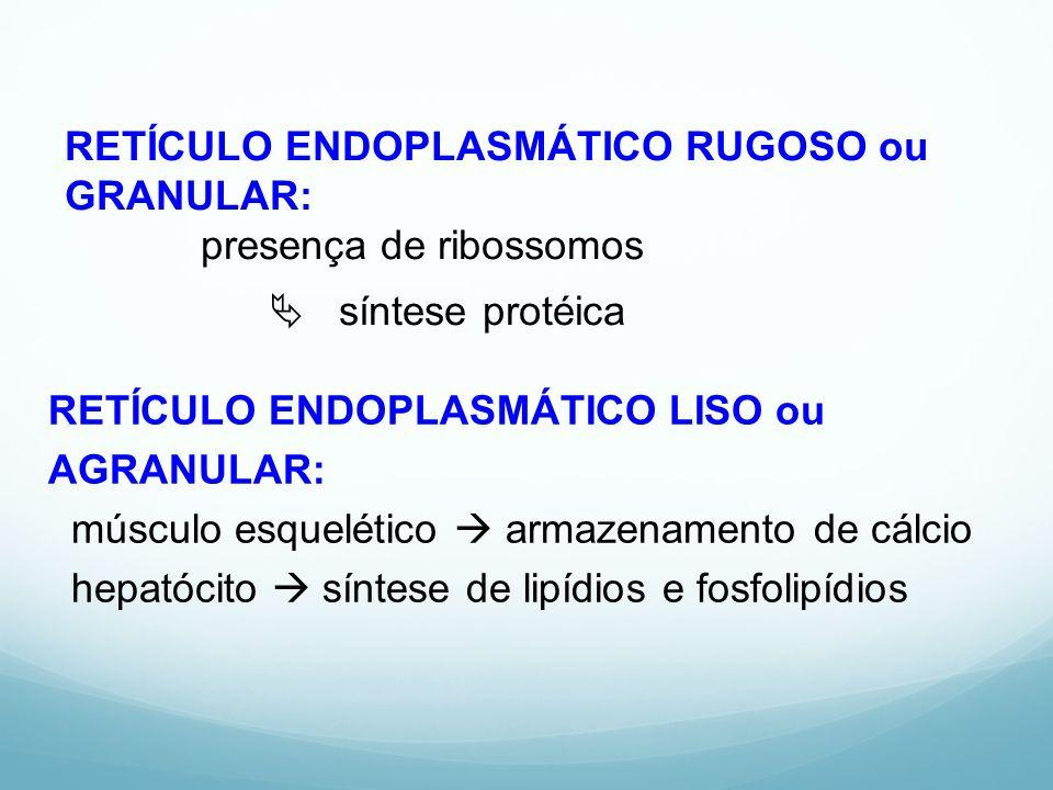 RETÍCULO ENDOPLASMÁTICO RUGOSO ou GRANULAR: presença de ribossomos  síntese protéica