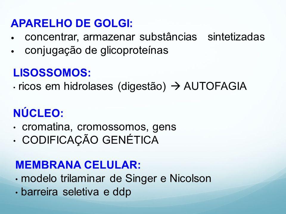 APARELHO DE GOLGI: concentrar, armazenar substâncias sintetizadas. conjugação de glicoproteínas.