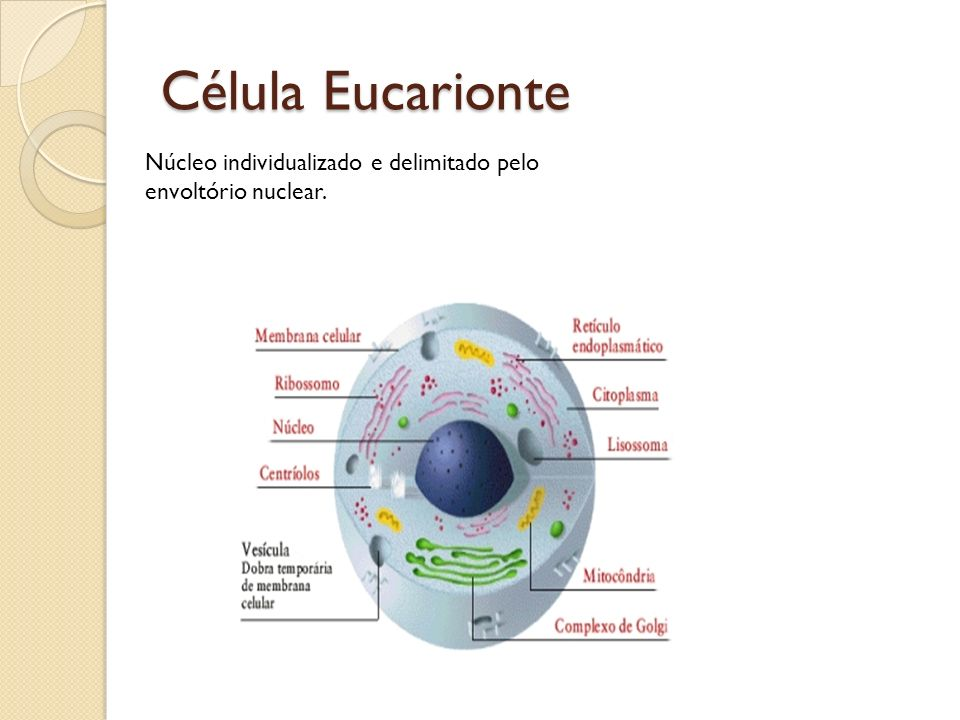 Célula Eucarionte Núcleo individualizado e delimitado pelo envoltório nuclear.