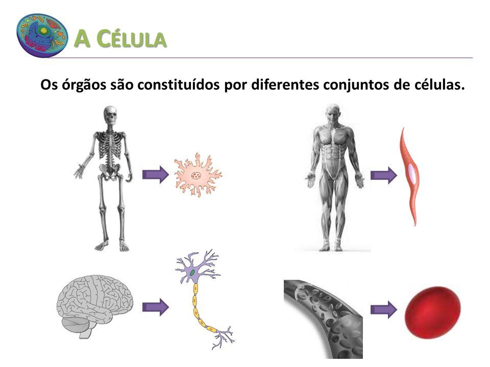 Os órgãos são constituídos por diferentes conjuntos de células.