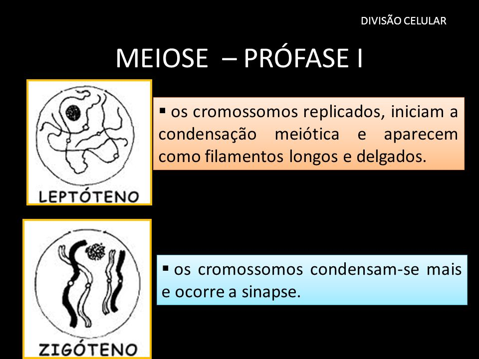 DIVISÃO CELULAR MEIOSE – PRÓFASE I. os cromossomos replicados, iniciam a condensação meiótica e aparecem como filamentos longos e delgados.