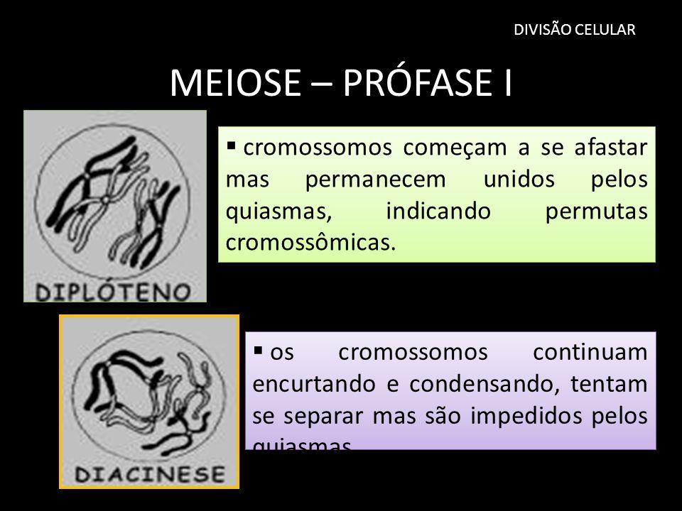 DIVISÃO CELULAR MEIOSE – PRÓFASE I. cromossomos começam a se afastar mas permanecem unidos pelos quiasmas, indicando permutas cromossômicas.