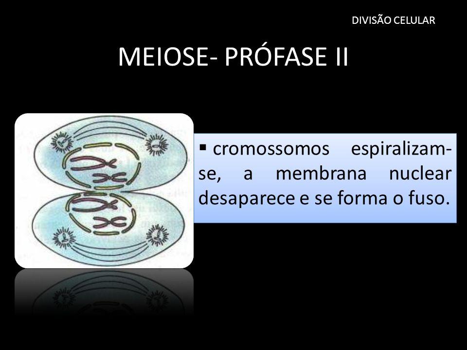 DIVISÃO CELULAR MEIOSE- PRÓFASE II.