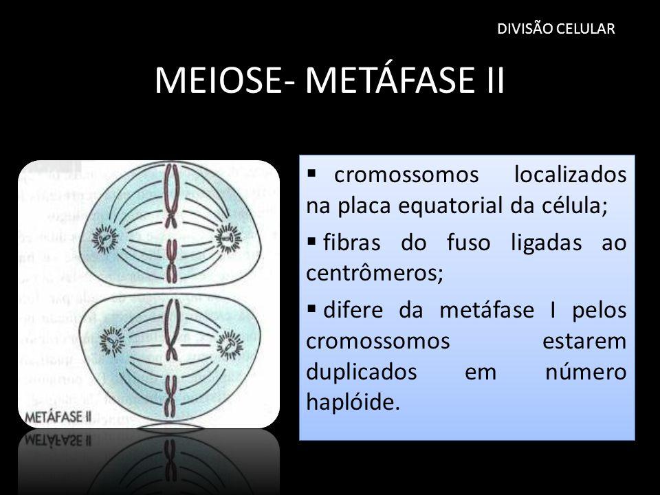 DIVISÃO CELULAR MEIOSE- METÁFASE II. cromossomos localizados na placa equatorial da célula; fibras do fuso ligadas ao centrômeros;