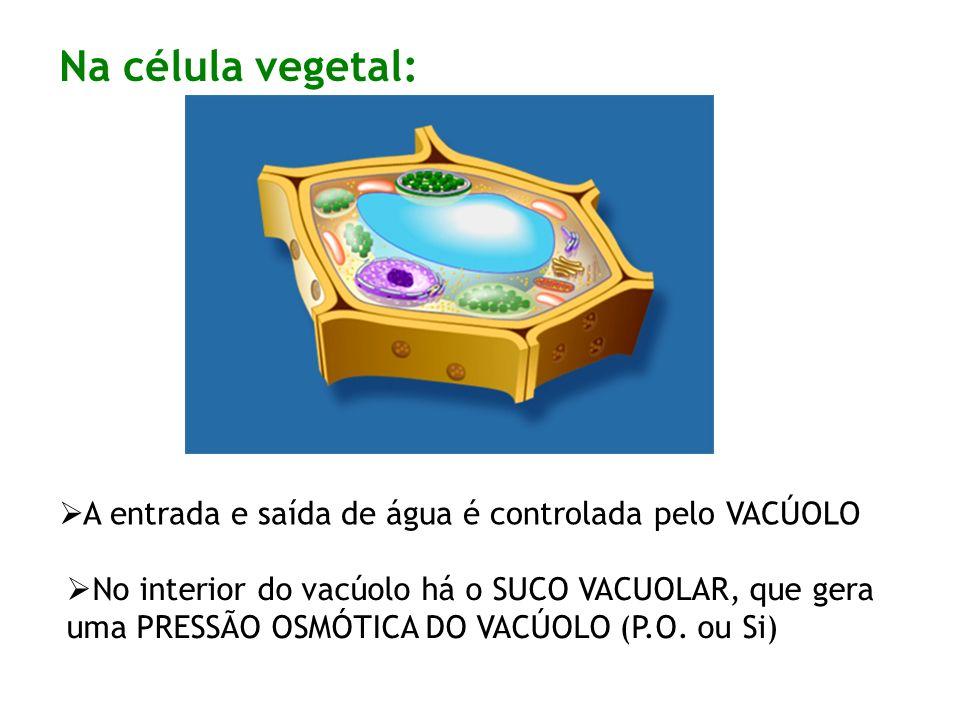 Na célula vegetal: A entrada e saída de água é controlada pelo VACÚOLO