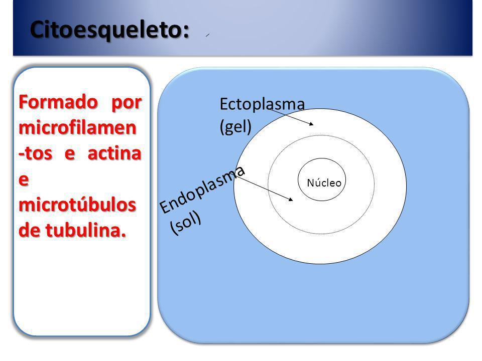 Citoesqueleto: Formado por microfilamen-tos e actina e microtúbulos de tubulina. Ectoplasma (gel) Endoplasma (sol)