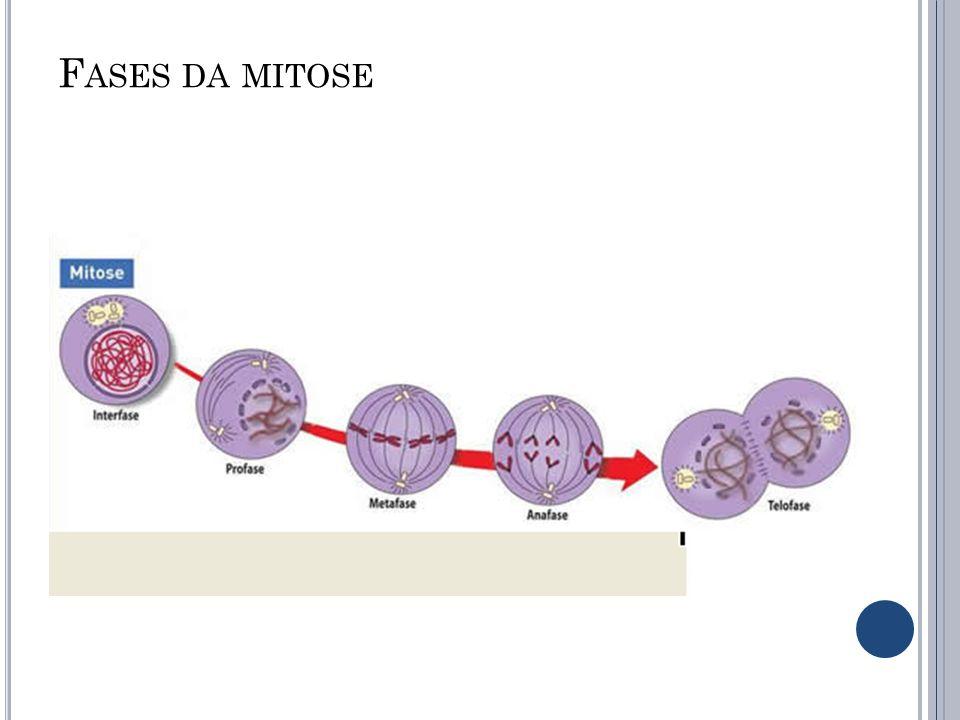Fases da mitose