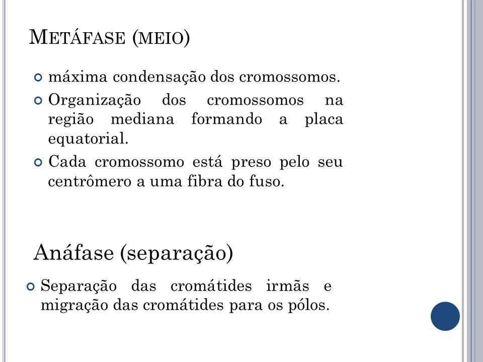 Anáfase (separação) Metáfase (meio)