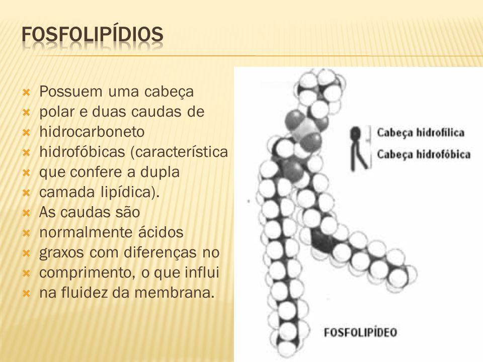 FOSFOLIPÍDIOS Possuem uma cabeça polar e duas caudas de hidrocarboneto