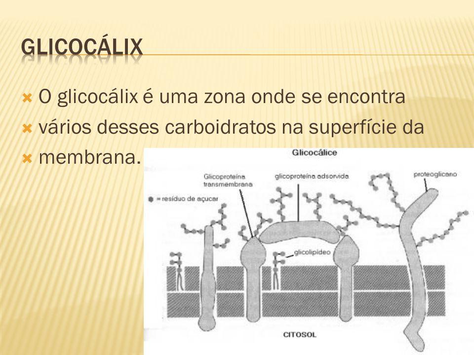 GLICOCÁLIX O glicocálix é uma zona onde se encontra