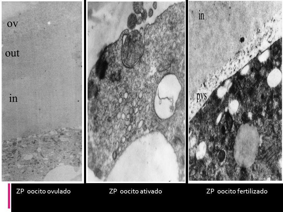 ZP oocito ovulado ZP oocito ativado ZP oocito fertilizado