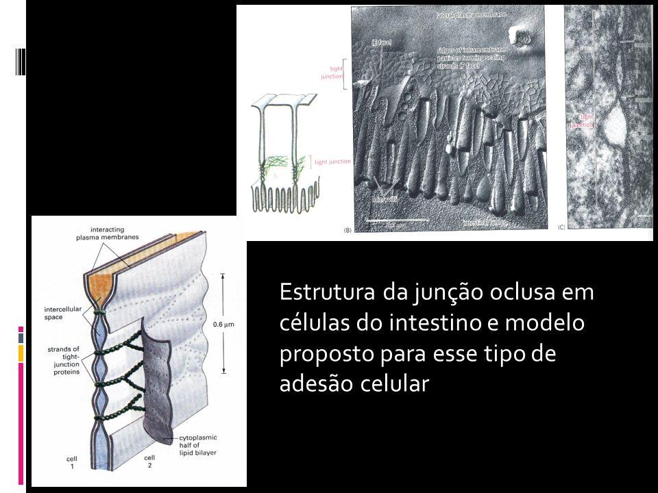 Estrutura da junção oclusa em células do intestino e modelo proposto para esse tipo de adesão celular