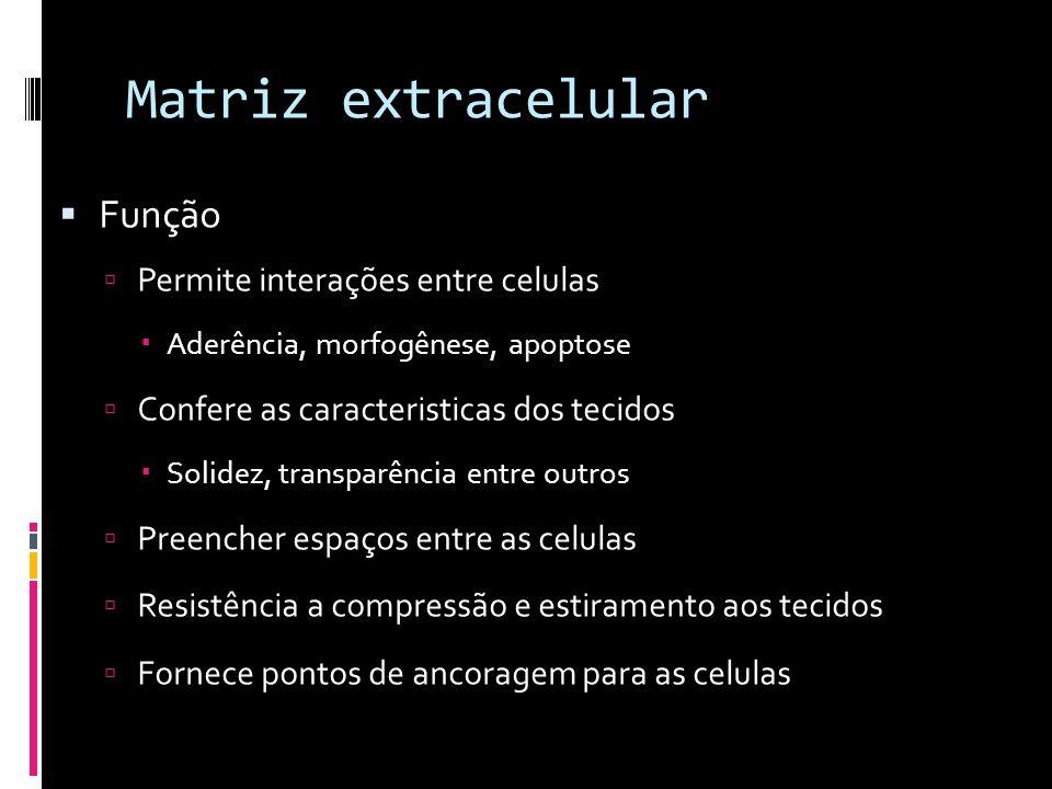 Matriz extracelular Função Permite interações entre celulas