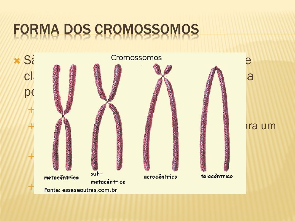 Forma dos cromossomos São estudados em máxima espiralação e classificados quanto a forma e segundo a posição do centrômero, em: