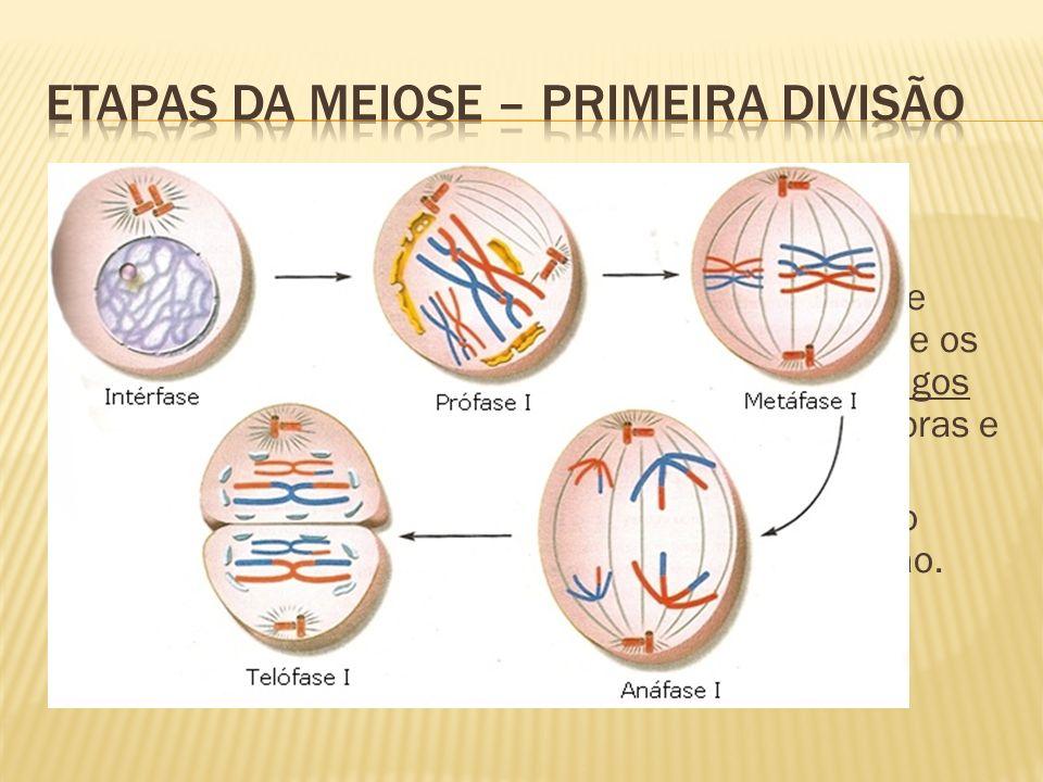 Etapas da meiose – primeira divisão