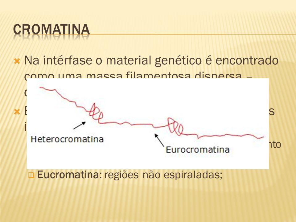 Cromatina Na intérfase o material genético é encontrado como uma massa filamentosa dispersa – cromatina;