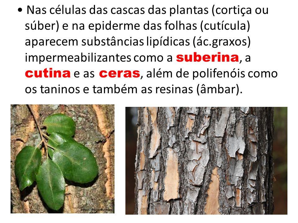 • Nas células das cascas das plantas (cortiça ou súber) e na epiderme das folhas (cutícula) aparecem substâncias lipídicas (ác.graxos) impermeabilizantes como a suberina, a cutina e as ceras, além de polifenóis como os taninos e também as resinas (âmbar).